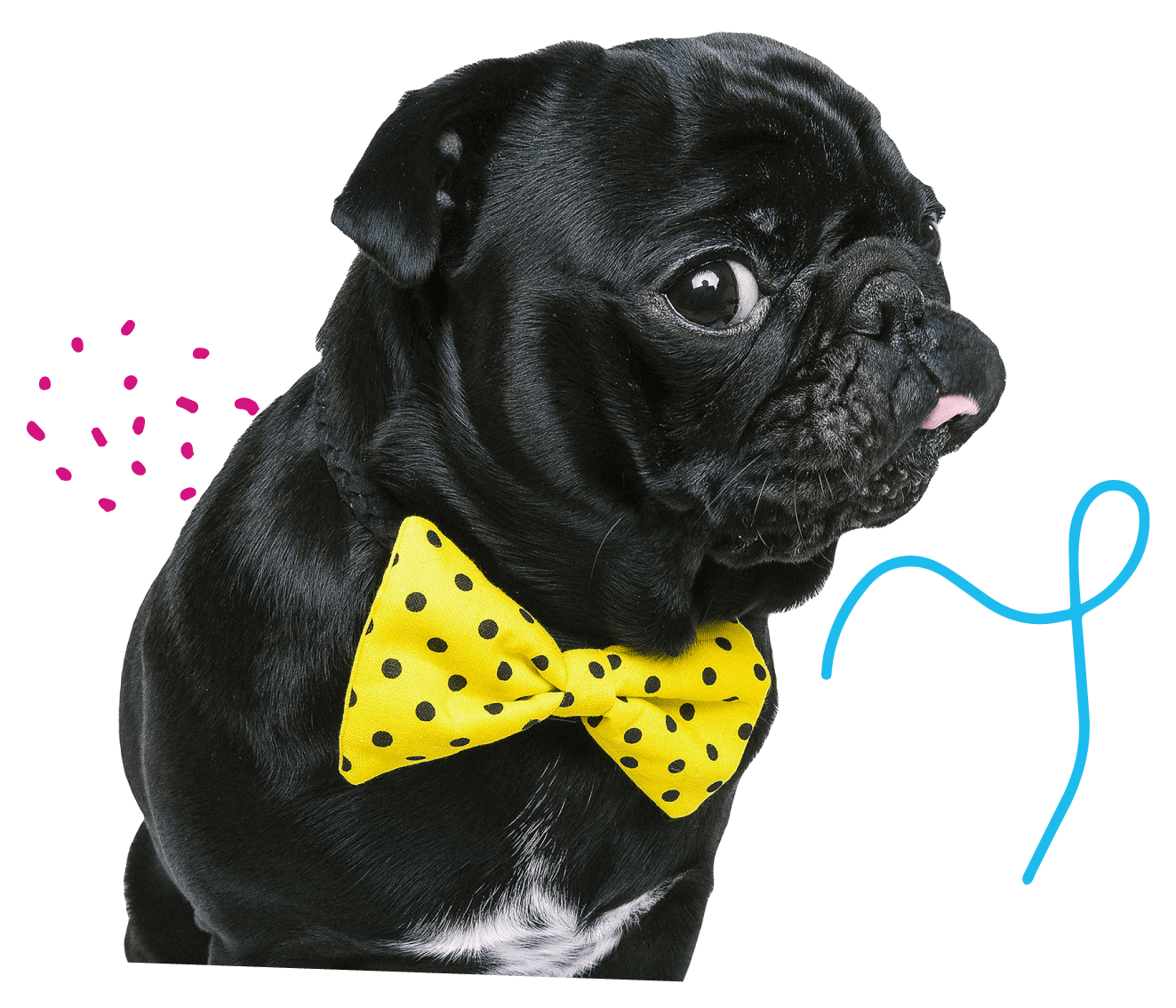 cute black french bulldog wearing a yellow bow tie with black polka dots sticking out tongue